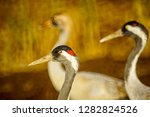 common crane birds in the... | Shutterstock . vector #1282824526