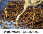 common crane birds in the... | Shutterstock . vector #1282824553