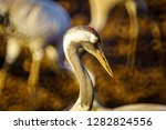 common crane birds in the... | Shutterstock . vector #1282824556