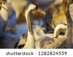 common crane birds in the... | Shutterstock . vector #1282824559