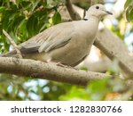eurasian collared dove sitting... | Shutterstock . vector #1282830766