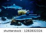 Macro Reef Black Shark...