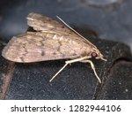 crambid snout moth   Shutterstock . vector #1282944106