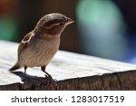 portrait of a sparrow perching... | Shutterstock . vector #1283017519