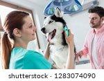 doctor examining husky dog... | Shutterstock . vector #1283074090