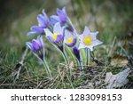 pasque flower growing in nature ...   Shutterstock . vector #1283098153