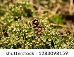 pine cone lying in the green...   Shutterstock . vector #1283098159