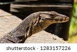 a young monitor lizard in borneo | Shutterstock . vector #1283157226