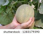 woman  hand holding melon ...   Shutterstock . vector #1283179390