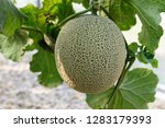 fresh melons or green melons or ...   Shutterstock . vector #1283179393