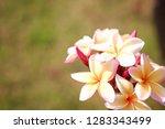 frangipani or plumeria or... | Shutterstock . vector #1283343499
