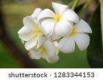 frangipani or plumeria or... | Shutterstock . vector #1283344153