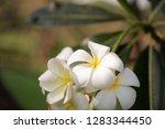 frangipani or plumeria or... | Shutterstock . vector #1283344450