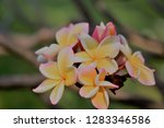 frangipani or plumeria or... | Shutterstock . vector #1283346586