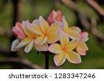 frangipani or plumeria or... | Shutterstock . vector #1283347246
