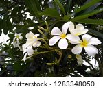 frangipani flowers in the... | Shutterstock . vector #1283348050