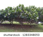 frangipani flowers in the... | Shutterstock . vector #1283348053