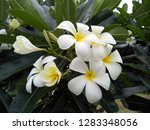 frangipani flowers in the... | Shutterstock . vector #1283348056