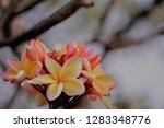 frangipani or plumeria or... | Shutterstock . vector #1283348776