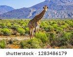 african giraffe  giraffa... | Shutterstock . vector #1283486179