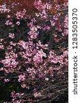 art transparent of blooming...   Shutterstock . vector #1283505370