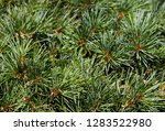 spring backgrounds pine green... | Shutterstock . vector #1283522980