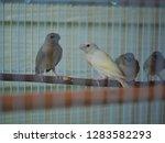 baby gouldian finch or rainbow... | Shutterstock . vector #1283582293