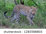 adult leopard  panthera pardus  ... | Shutterstock . vector #1283588803