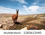 typical lama alpaca in andes... | Shutterstock . vector #1283612440