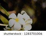 frangipani or plumeria or... | Shutterstock . vector #1283701006
