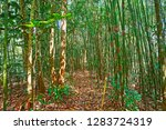 get lost in deep bamboo forest... | Shutterstock . vector #1283724319