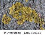 common yellow lichen xanthoria...   Shutterstock . vector #1283725183