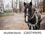 black horse with harness and... | Shutterstock . vector #1283749690