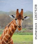 Small photo of inquisitive giraffe in maasia mara park, kenya, africa