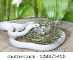 White Texas Rat Snake In A Bir...