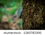 Tokay Gecko Sticks In A Tree....