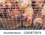 hen and rooster in cage at farm....   Shutterstock . vector #1283872876