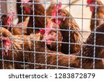 hen and rooster in cage at farm....   Shutterstock . vector #1283872879