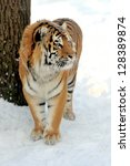 beautiful wild siberian tiger... | Shutterstock . vector #128389874