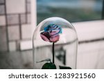 live rose in a blue glass flask ... | Shutterstock . vector #1283921560