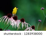 American Goldfinch  Carduelis...