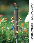 Small photo of Indigo Bunting (Passerina Cyanea), American Goldfinches (Spinus Tristis) and a House finch (Carpodacus Mexicanus) on a thistle feeder, Marion County, Illinois