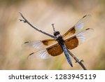 Widow Skimmer Dragonfly ...