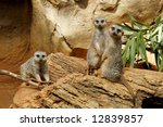 adorable meerkats - stock photo