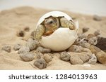 Stock photo cute portrait of baby tortoise hatching birth of new life closeup of a small newborn tortoise 1284013963