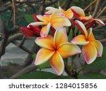 plumeria flower pink and white... | Shutterstock . vector #1284015856
