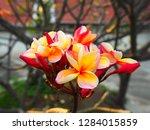 plumeria flower pink and white... | Shutterstock . vector #1284015859