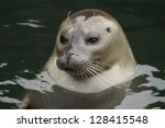 Portrait Of Young Harbor Seal