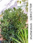 Green Shrub Of Euphorbia...