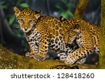 Two Little Jaguar Cubs Playing...